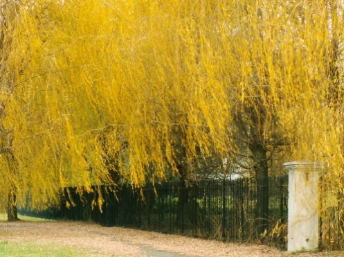 yellowwillows.jpg